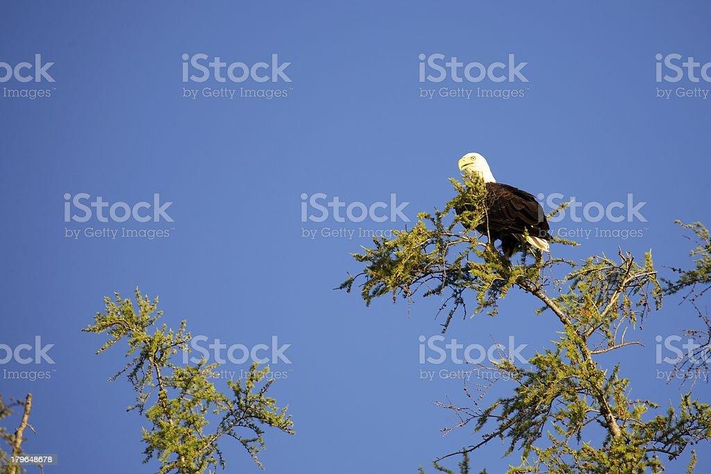 Bald Eagle Perched atop Tamarack royalty-free stock photo