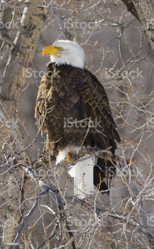 Bald Eagle Perched in Tree stock photo