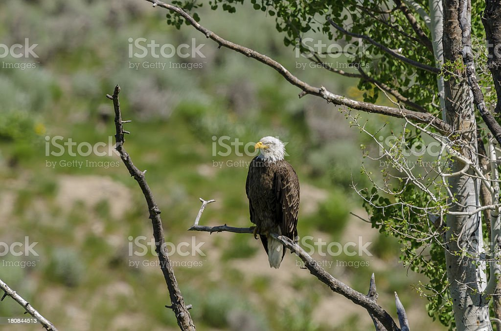 Bald Eagle Perched on a Branch royalty-free stock photo
