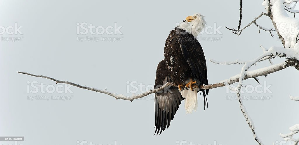 Bald eagle perched on branch royalty-free stock photo