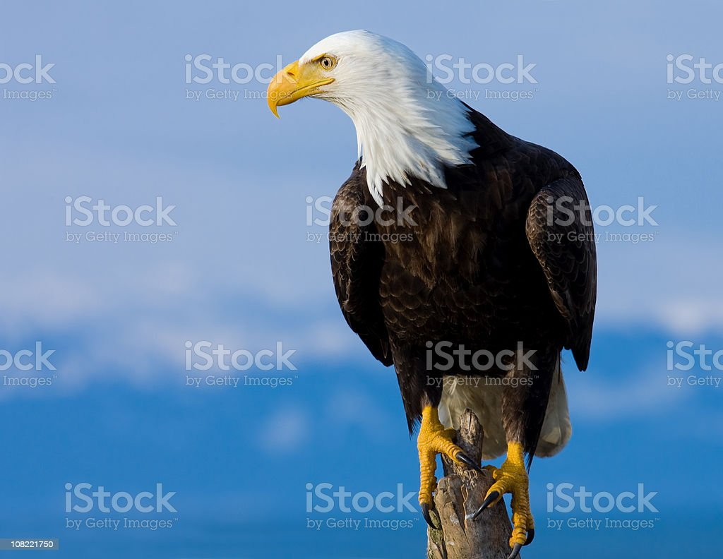 Bald Eagle Perched on Stump - Alaska stock photo