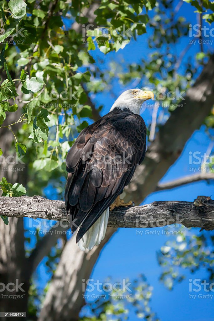 Bald Eagle Perching in Cottonwood Tree stock photo
