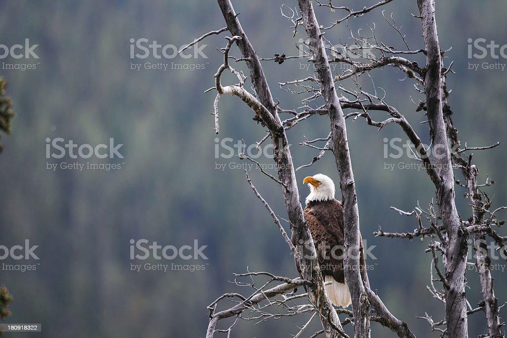 Bald Eagle (Haliaeetus leucocephalus) royalty-free stock photo