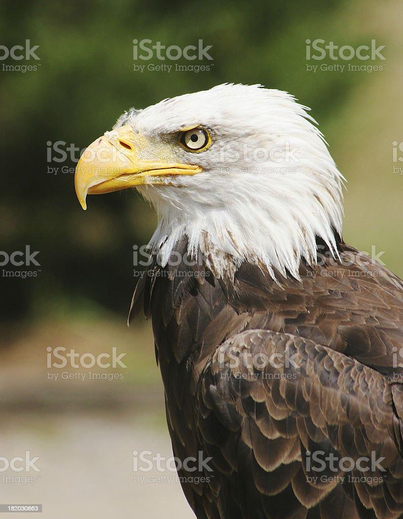 Bald Eagle royalty-free stock photo