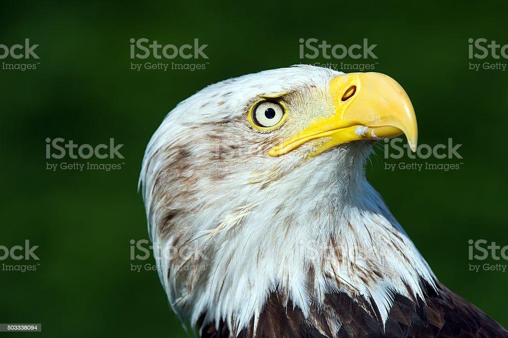 Bald Eagle (Haliaeetus Leucocephalus) stock photo