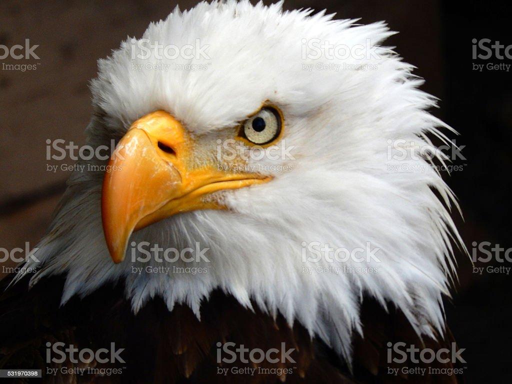Bald Eagle stock photo