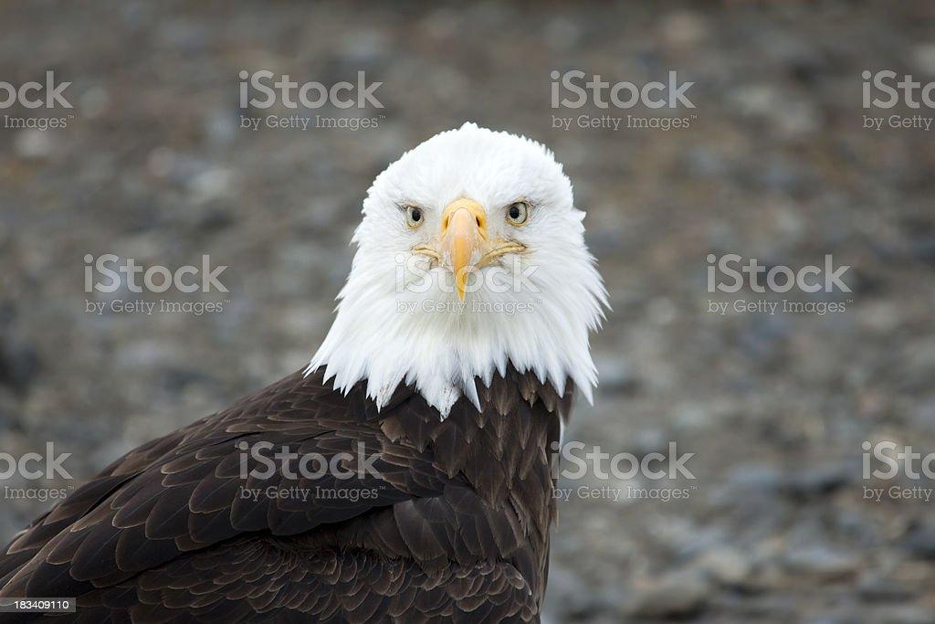 Bald Eagle Portrait, Alaska stock photo