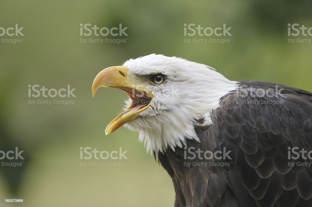 bald eagle portrait royalty-free stock photo
