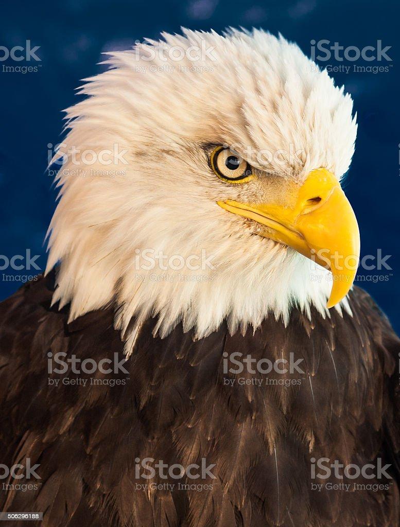 Bald Eagle Portrait stock photo
