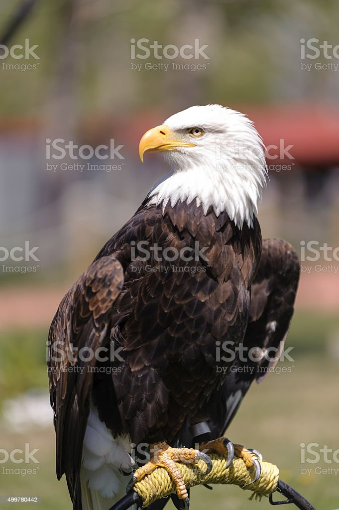 Bald Eagle profile perched stock photo