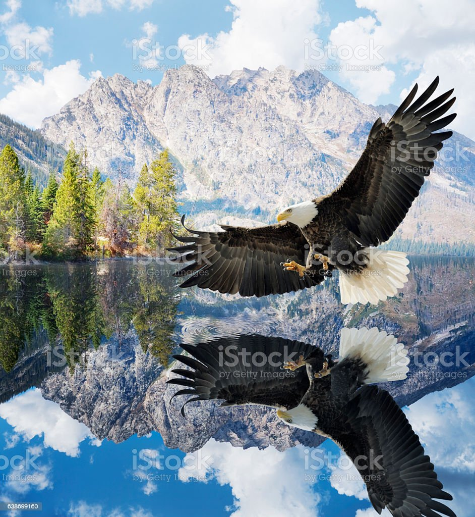 Bald Eagle reflected in Jenny Lake, Grand Teton Mountains stock photo