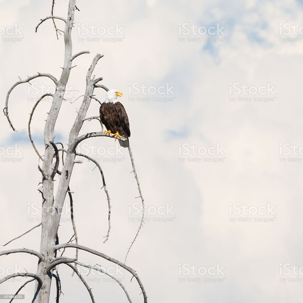 Bald eagle sitting on dead tree limb against cloudy sky royalty-free stock photo