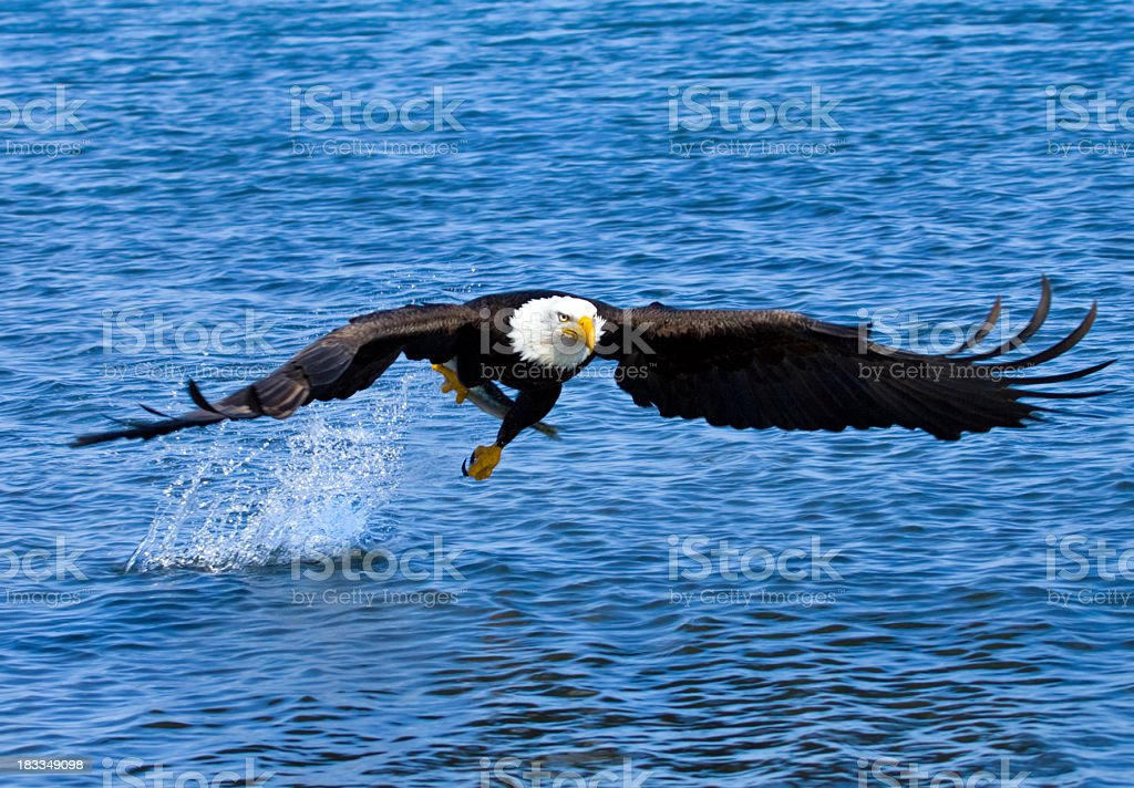 Bald Eagle snatching a fish from the ocean - Alaska stock photo