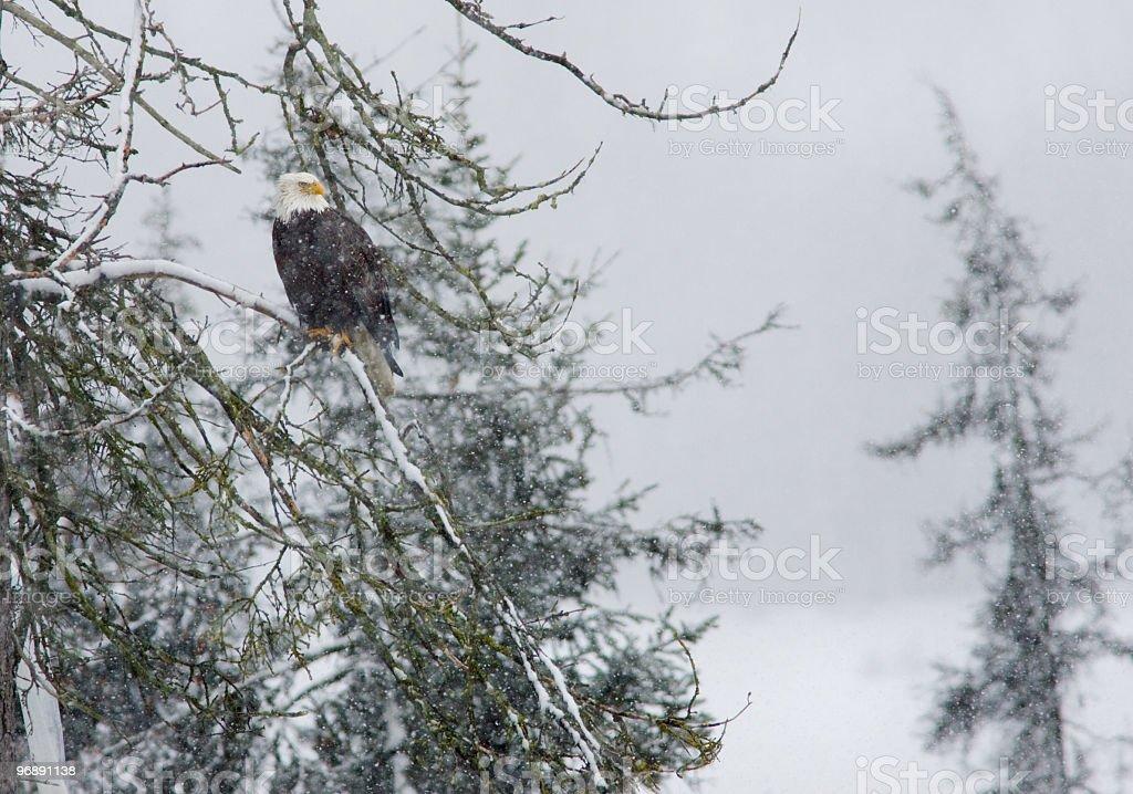 Bald Eagle, Snow & the Forest, Alaska royalty-free stock photo