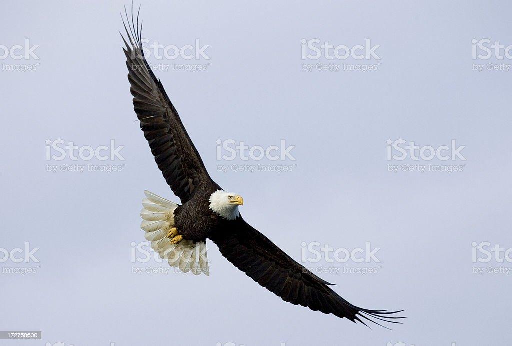 Bald Eagle - Soaring, Alaska stock photo