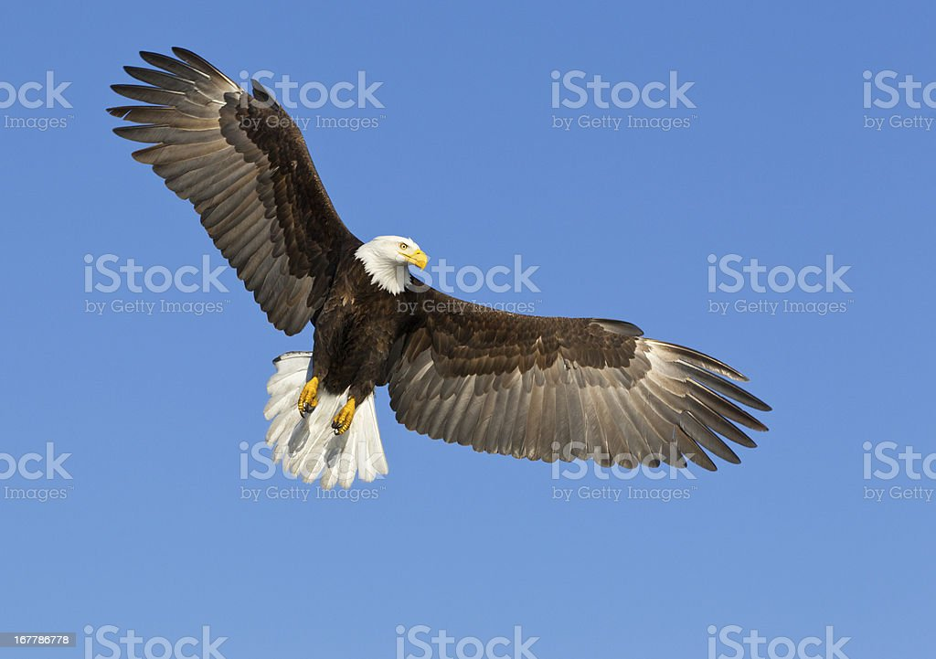 A bald eagle soaring in a blue sky stock photo