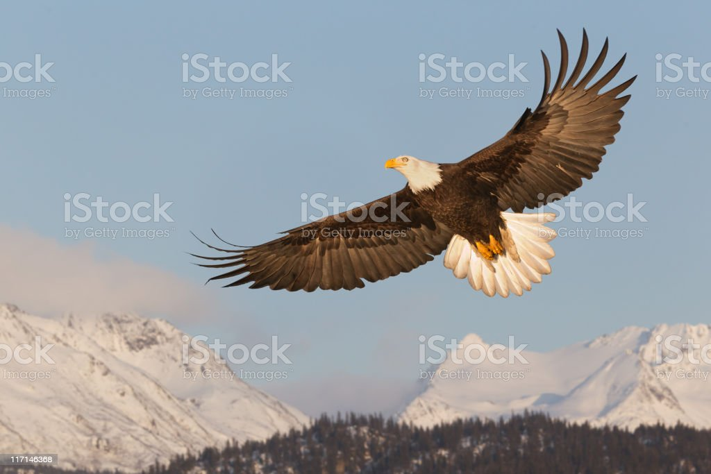 Bald Eagle Soaring Over Mountains stock photo