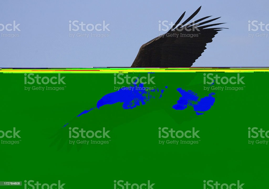 Bald Eagle Soaring royalty-free stock photo