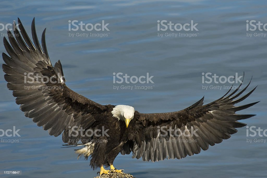 Bald eagle spreading it´s wings stock photo