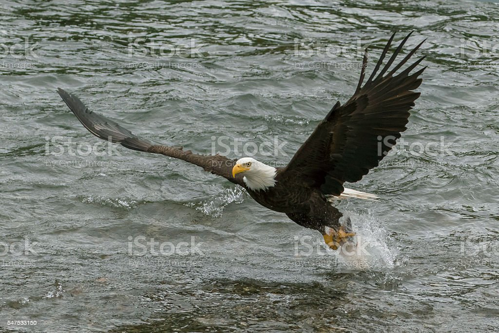 Bald Eagle swoops down and grabs fish from river stock photo