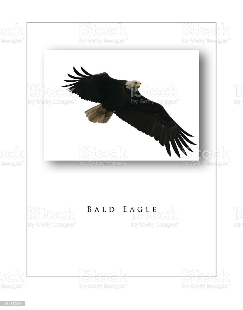 Bald Eagle three dimensional poster on white, with title stock photo