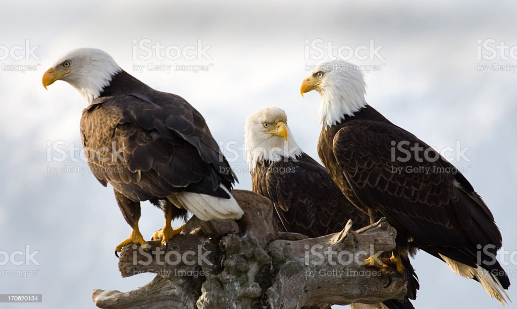 Bald Eagle - Three of a Kind, Alaska stock photo