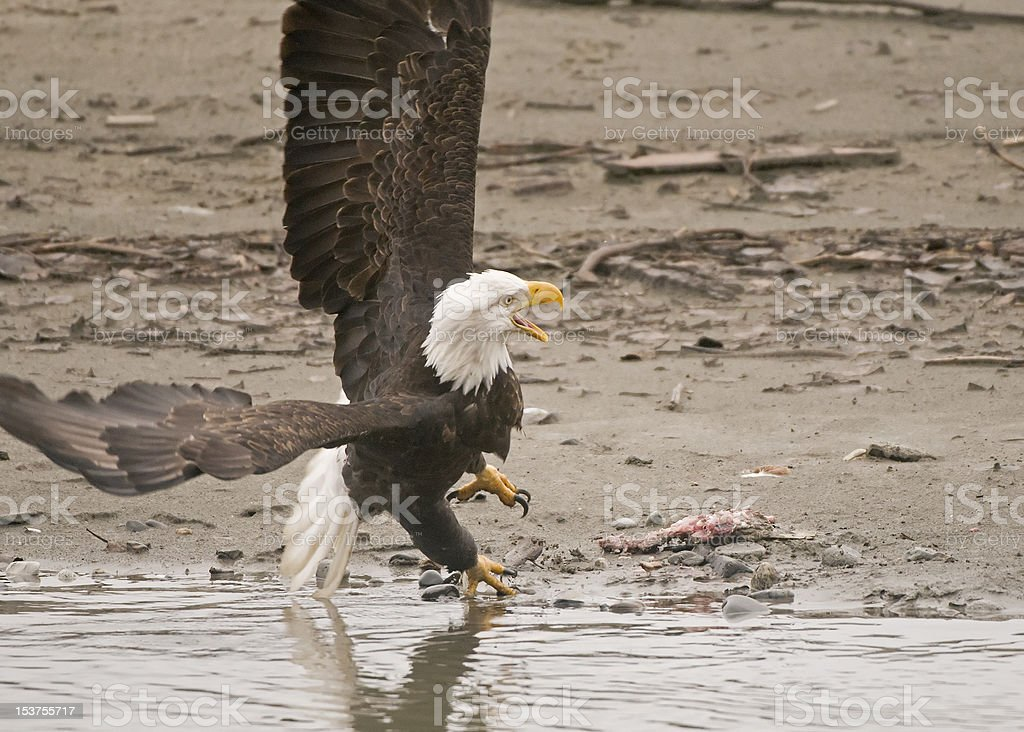 Bald Eagle under attack royalty-free stock photo