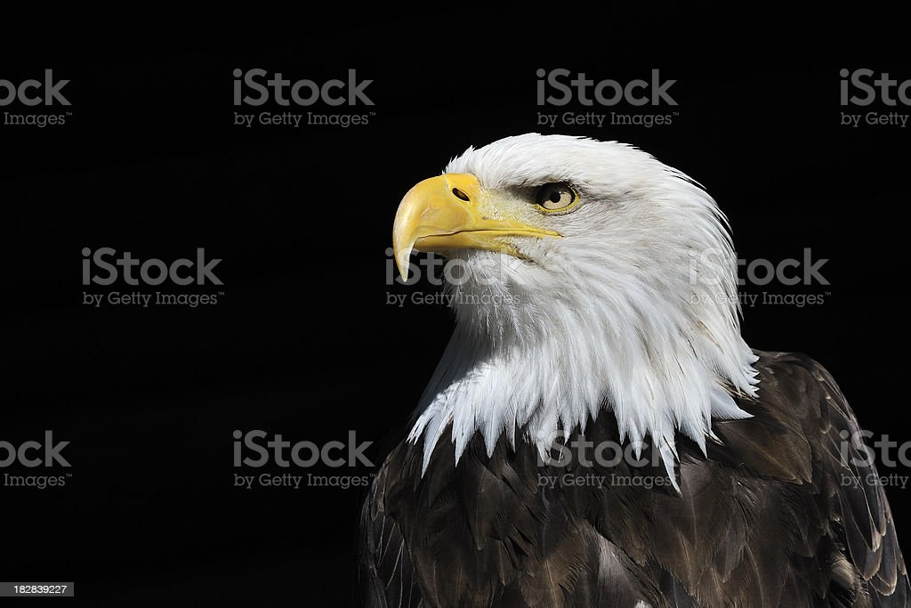 Bald Eagle Watching royalty-free stock photo