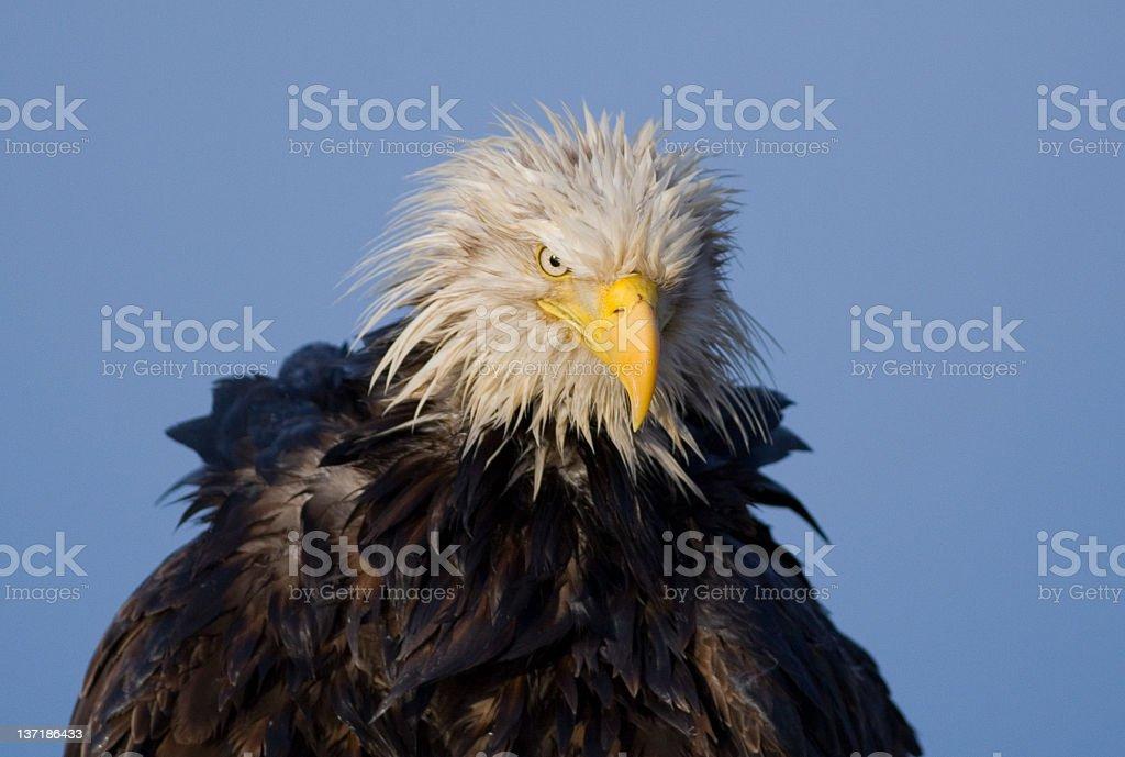 Bald Eagle - Wet Look, Alaska stock photo