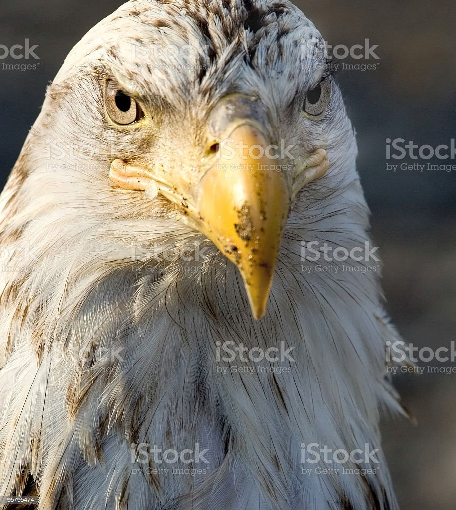Bald Eagle with a Wicked Look, Alaska stock photo