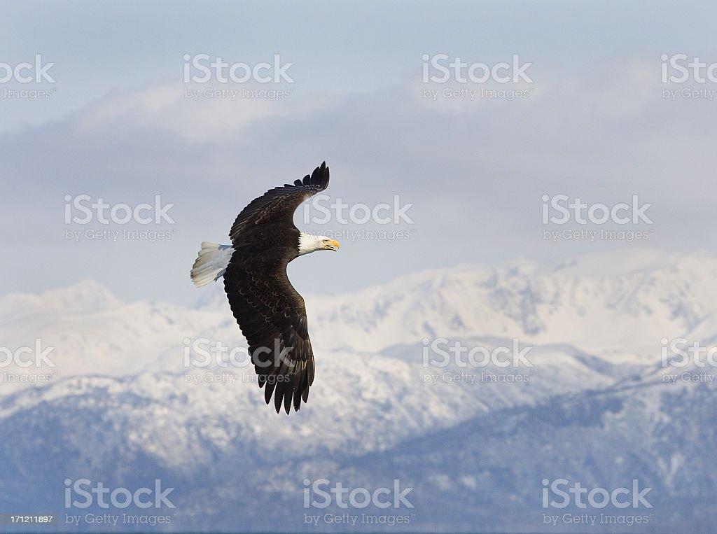 Bald Eagle with Alaska Mountain background stock photo