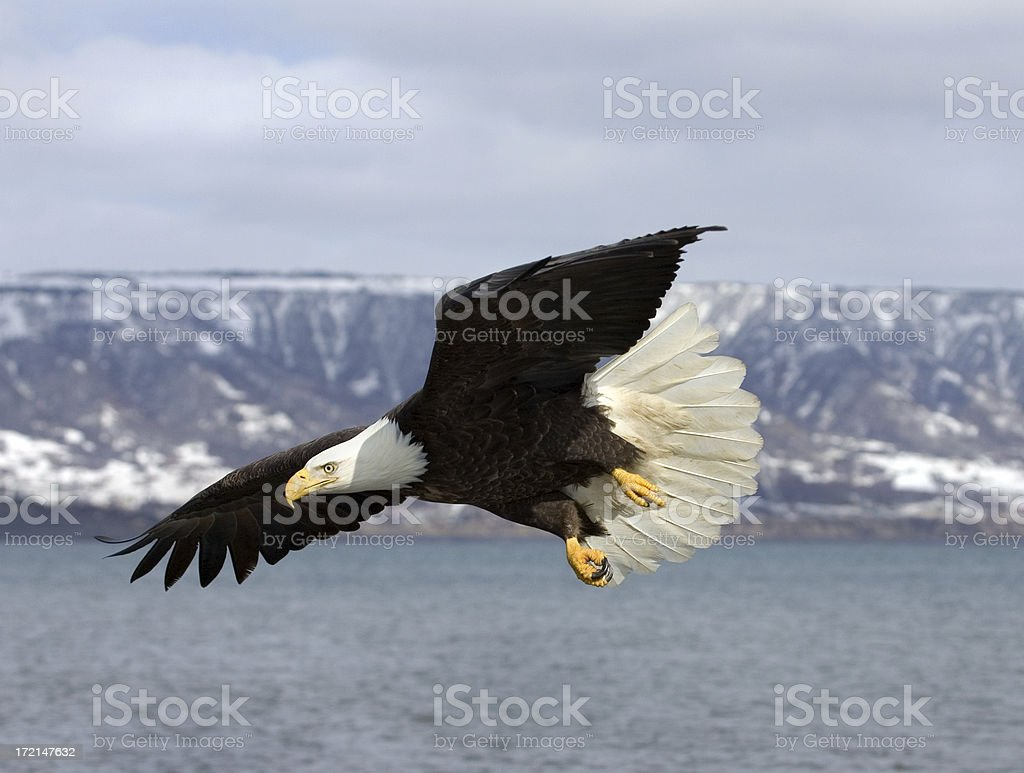 Bald Eagle with Beautiful Tail Display, Alaska stock photo