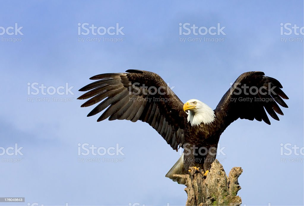 Bald Eagle with Majestic Wing Span Pose, Alaska stock photo