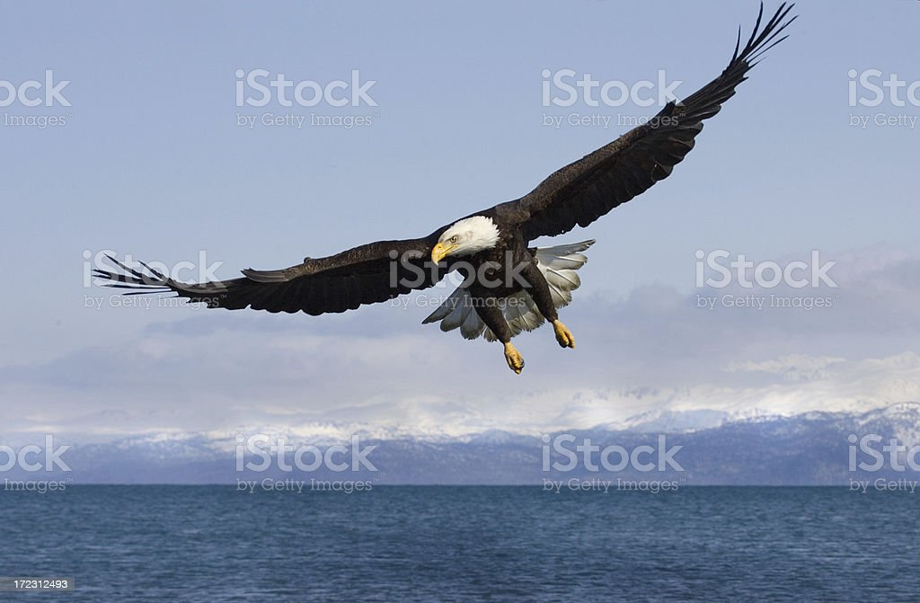 Bald Eagle with Mountian Background - Alaska stock photo