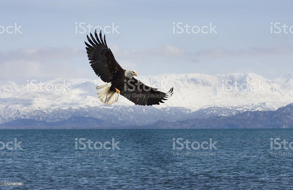 Bald Eagle with Mountian Background, Alaska stock photo