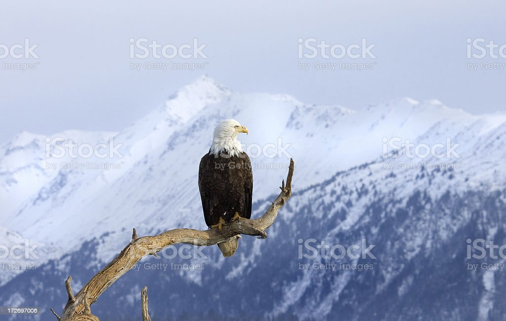 Bald Eagle with Snow Mountain - Alaska stock photo