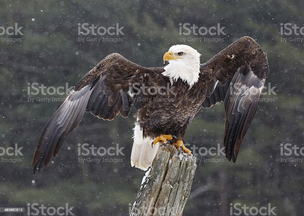 Bald Eagle with Wings Stretched stock photo