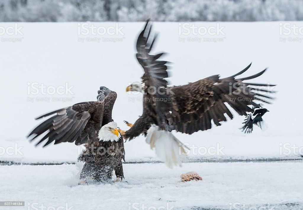 Bald Eagles are fighting stock photo