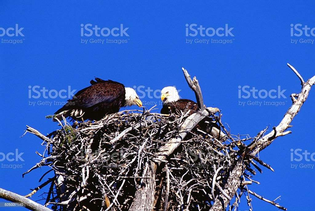 Bald Eagles Haliaeetus leucocephalus on nest Yellowstone National Park stock photo