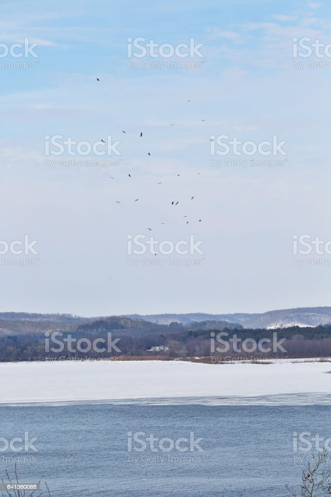 Bald Eagles Hunting On Mississippi River In Minnesota stock photo