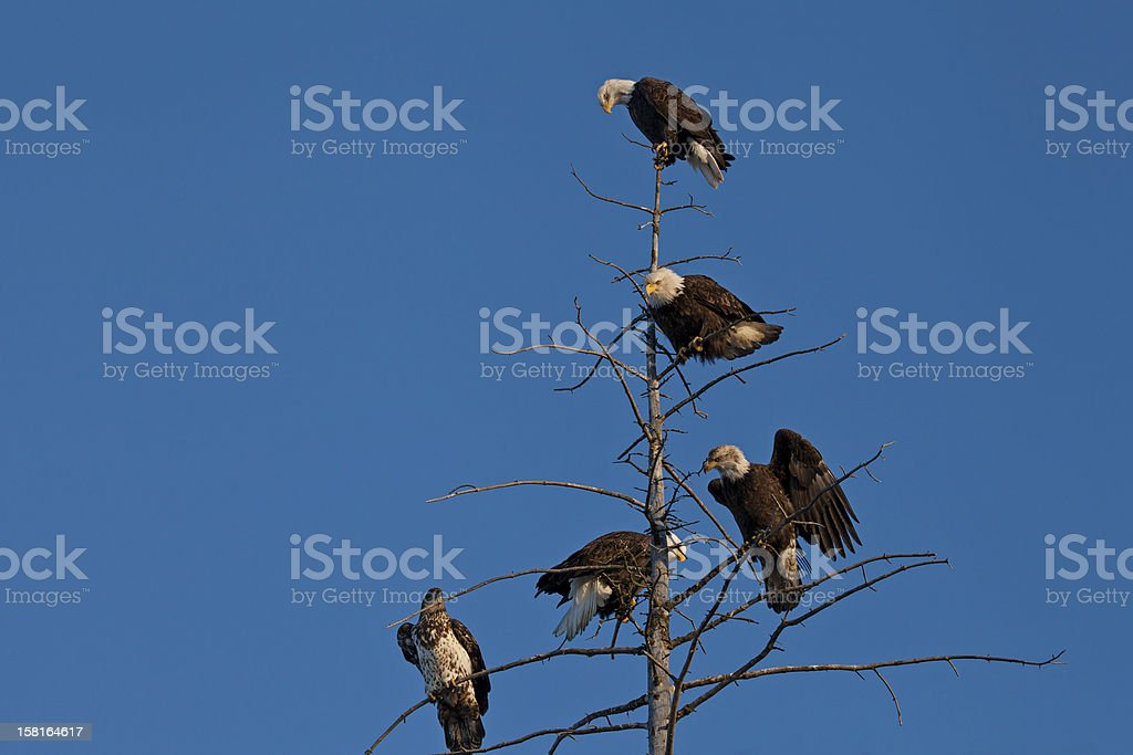 Bald Eagles in a tree royalty-free stock photo