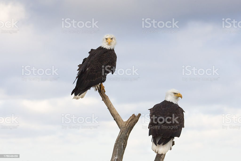 Bald Eagles Perched on Stump, Alaska royalty-free stock photo