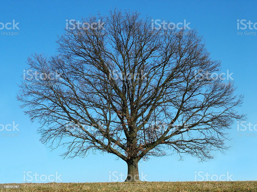 Bald tree royalty-free stock photo