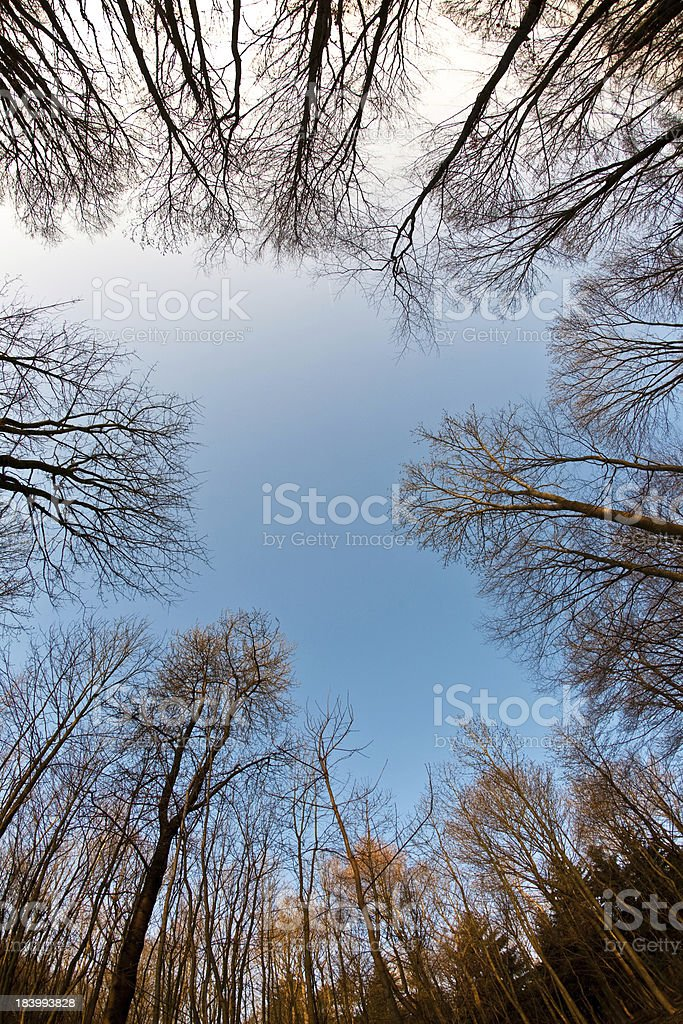Bald Treetops in wintertime with blue clear sky royalty-free stock photo