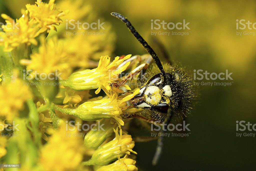 Bald-Faced Hornet Feeding from a Yellow Flower stock photo