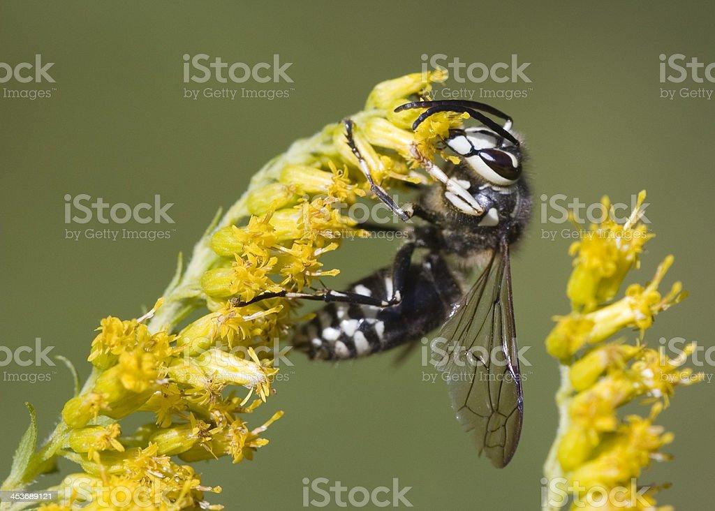 Bald-faced Hornet (Vespula maculata) stock photo