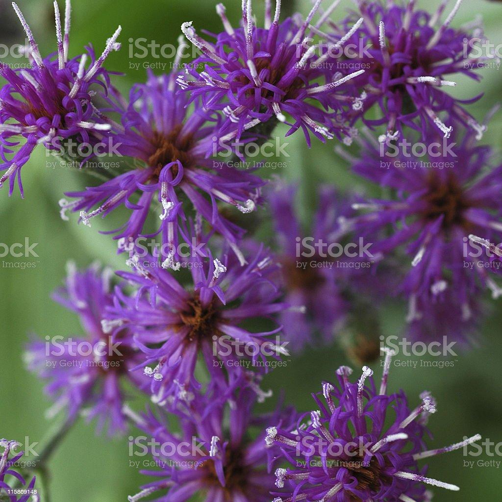 Baldwin's ironweed, Vernonia baldwinii, flowers royalty-free stock photo