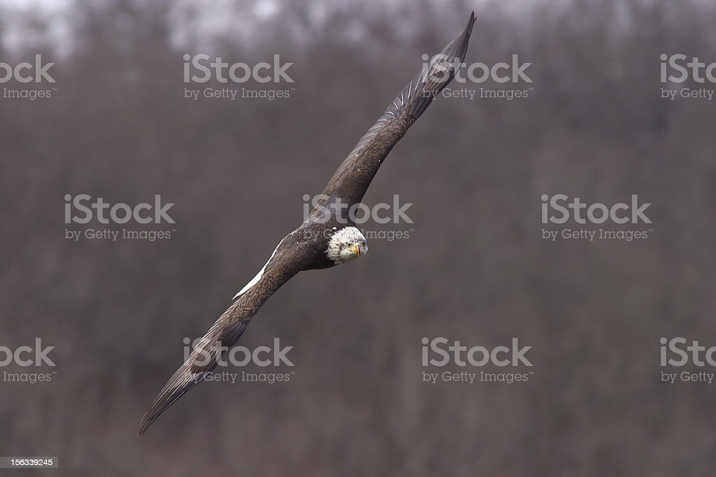 Bale eagle with wings open flight royalty-free stock photo