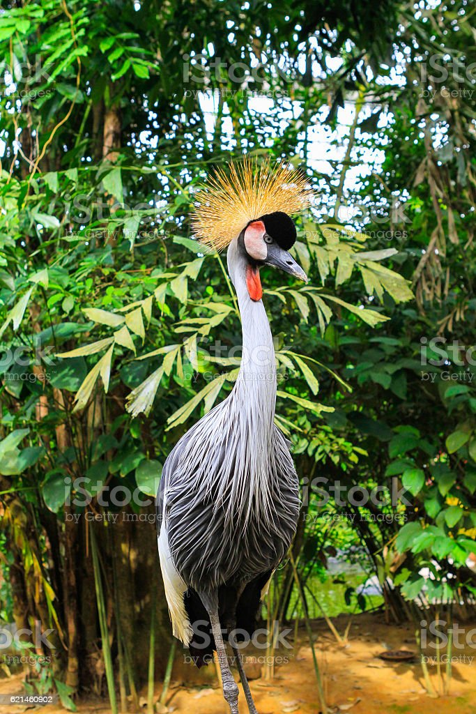 Balearica regulorum stock photo