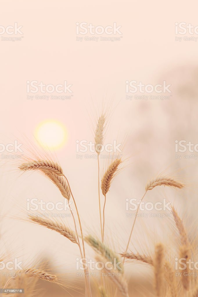 Bales in field and sunset royalty-free stock photo